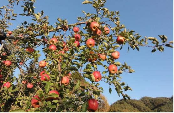 信州駒ヶ根「晩秋」体感2014 『りんご狩り』と『物件見学』をしませんか・・・!?